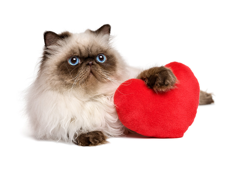 Happy-Valentine's-Day-Persian-Colourpoint-Cat-with-a-Red-Heart