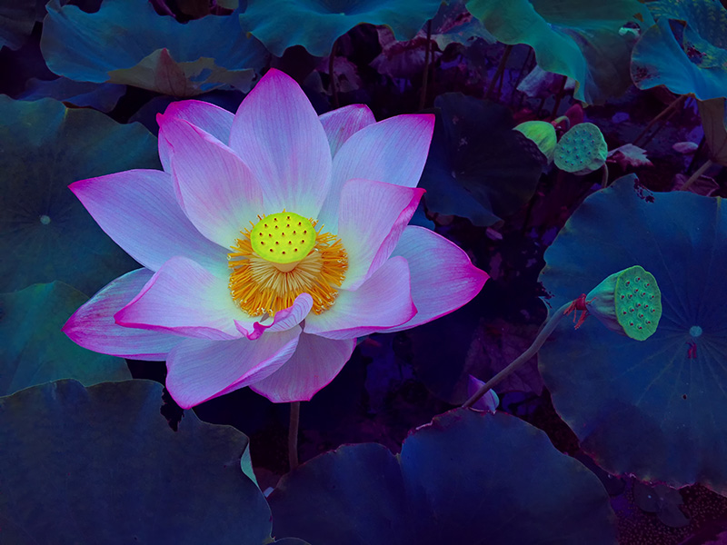 Blooming Lotus Flower In The Pond At Dawn