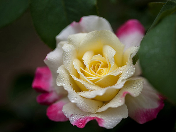 close-up-yellow-chinese-rose-blossom-isolated-beijing,-china