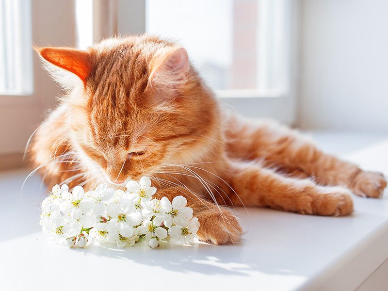 The Ginger Coloured Cat Smells A Bouquet Of Cherry Flowers