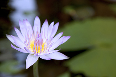 yeng-keng-hotel-water-lily